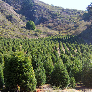 field of Douglas and Grand Fir trees to choose and cut