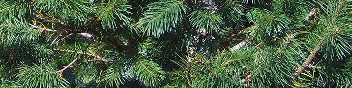 Grand Fir closeup