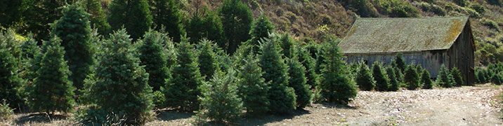 choose and cut your own Christmas tree farm