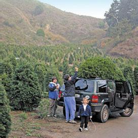 family tying fresh cut Christmas tree on their vehicle