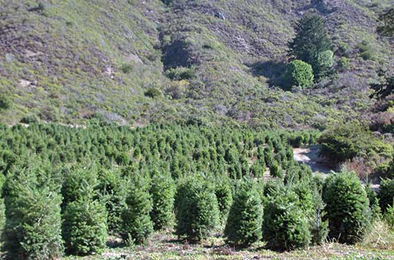 ChristmasTreeFieldInValley